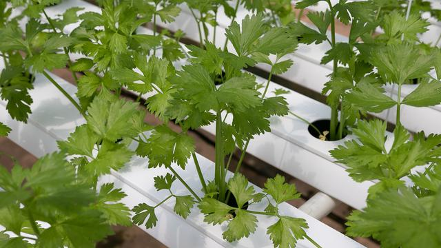 015048900 1592627213 coriander 4255400 1920 - Macam-Macam Hidroponik untuk Berkebun, Mudah untuk Pemula