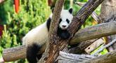 Seekor anak panda raksasa tampak bermain di Kebun Binatang Berlin di Berlin, ibu kota Jerman, pada 28 Mei 2020. Kebun Binatang Berlin dibuka kembali untuk umum pada 28 April setelah ditutup selama lebih dari sebulan akibat COVID-19. (Xinhua/Binh Truong)