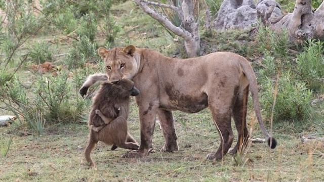 Kisah Pertarungan Singa Dan Monyet Yang Berakhir Haru Citizen6