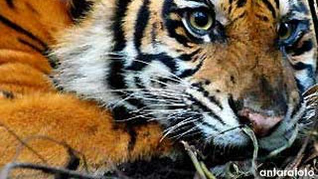 Asal Usul Nama Harimau News Liputan6 Com