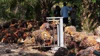 Tandan buah sawit ditimbang setelah panen yang dilakukan warga Desa Penyang Kecamatan Telawang Kabupaten Kotawaringin Timur. (foto: Dokumentasi Save Our Borneo.)