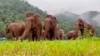Kelompok Gajah Chana (Instagram/lek_chailert)