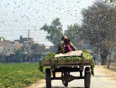 Ribuan Belalang Serbu dan Rusak Tanaman di Pakistan