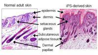 Secara khusus, para peneliti mengambil sel-sel dari gusi beberapa ekor tikus dan secara kimia mengubahnya.