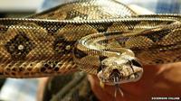Ular boa (Boa constrictor) menghabisi mangsanya dengan lilitan maut (Dickinson College)