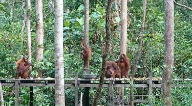 Terpukau Orangutan di Tanjung Harapan Kalimantan