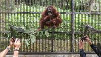 Induk orangutan, Eva memeluk bayi bernama Fitri di Taman Safari Indonesia Cisarua, Bogor, Jawa Barat, Rabu (27/5/2020). Fitri, bayi Orangutan Kalimantan berjenis bertina pemberian nama dari Menteri LHK Siti Nurbaya lahir pada hari Senin (25/5) pukul 05.00 WIB (Liputan6.com/Fery Pradolo)