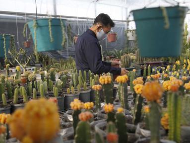 Seorang pria Peneliti dari Pyongyang Floriculture Institute meneliti dan membudidayakan kaktus dan bunga di Pyongyang, Korea Utara, DPRK (14/12/2020). (AP Photo / Jon Chol Jin)