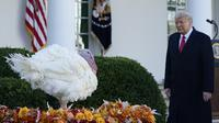 Presiden Donald Trump berjalan untuk mengampuni Corn si Kalkun Thanksgiving Nasional di Rose Garden, Gedung Putih, Washington, Amerika Serikat, Selasa (24/11/2020). Thanksgiving adalah hari libur resmi di Amerika Serikat. (AP Photo/Susan Walsh)