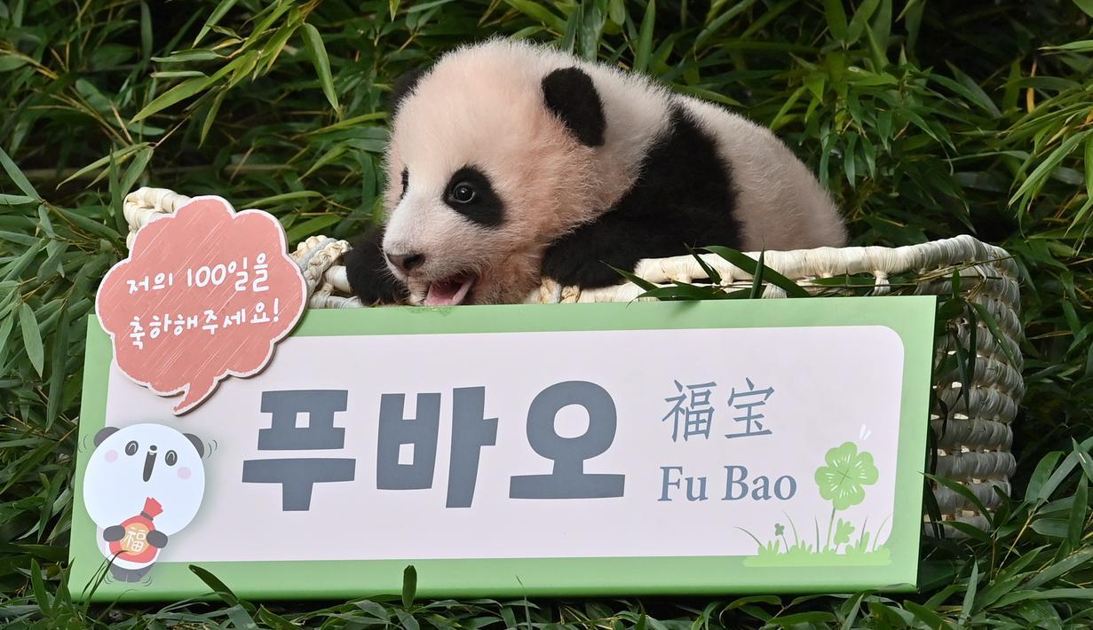 Anak panda Fu Bao yang lahir 107 hari lalu di Korea Selatan, difoto saat upacara untuk mengungkapkan namanya di Taman Hiburan dan Hewan Everland di Yongin pada Rabu (4/11/2020). Fu Bao adalah bayi panda pertama yang lahir di Korsel dan merupakan peristiwa langka.  (Jung Yeon-je / AFP)