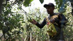 Petani memetik buah apel di salah satu perkebunan kawasan Batu, Malang, Jawa Timur, Rabu (25/9/2019). Apel Malang dihargai Rp 25 ribu hingga Rp 30 ribu per kilogramnya. (Liputan6.com/JohanTallo)