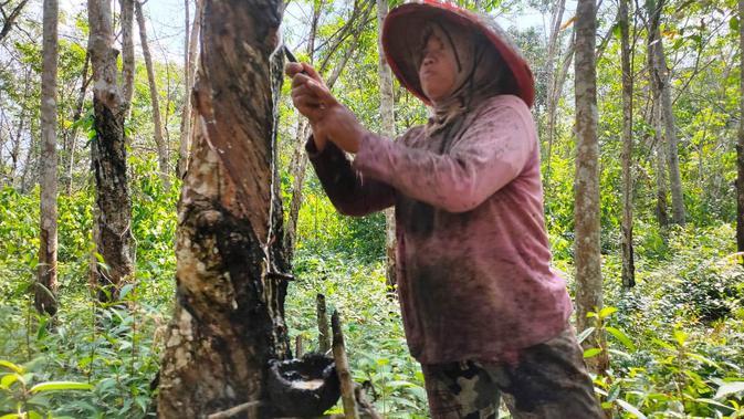 Suharmi, warga Dusun Cawang Gumilir yang tergusur di tahun 2015, kini menjalani hari-hari sebagai kuli penyadap karet di Desa Bumi Makmur Kabupaten Musi Rawas Sumsel (Liputan6.com / Nefri Inge)
