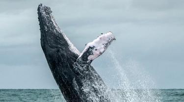 Seekor paus Bungkuk melompat ke permukaan laut Samudera Pasifik di Taman Alam Uramba Bahia Malaga, Kolombia, 12 Agustus 2018. Munculnya paus ini terjadi setiap tahun ketika bermigrasi dari Semenanjung Antartika ke Samudera Pasifik. (AFP/Miguel MEDINA)