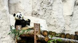 Panda raksasa (ailuropoda melanoleuca) bersantai di Kebun Binatang Moskow, Rusia, Sabtu (13/7/2019). (Kirill KUDRYAVTSEV/AFP)