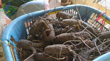 Lobster segar hasil tangkapan nelayan pantai selatan Garut, Jawa Barat, tengah melimpah saat imlek tahun ini