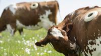 Para peneliti di Swiss melubangi tubuh sapi guna melihat apa saja makanan yang dikonsumsi oleh sapi-sapi yang ada dipeternakan.