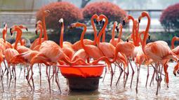 Sekumpulan flamingo terlihat sedang makan di Kebun Binatang Wuhan di Wuhan, Provinsi Hubei, China tengah, pada 13 Maret 2020. Kebun Binatang Wuhan ditutup pada 22 Januari lalu setelah merebaknya COVID-19. (Xinhua/Cai Yang)