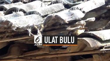 Tiga desa di Pasuruan, Jawa Timur mendapat serangan hama ulat bulu. Hal ini membuat warga kewalahan dan mereka minta pemerintah mengatasi masalah ini.