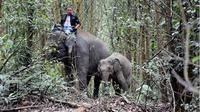 Aksi gajah jinak menyelamatkan anak gajah liar yang terpisah dari induknya. (Liputan6.com/M Syukur)