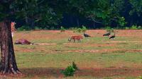Hewan diduga harimau Jawa di padang penggembalaan Cidaon, Taman Nasional Ujung Kulon, Pandeglang, Banten. (Foto: Gabel, petugas Taman Nasional Ujung Kulon/Liputan6.com/Yandhi Deslatama)