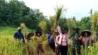 Panen perdana Program Perluasan Areal Tanam Baru (PATB) Padi Kementan di Cilacap, Jawa Tengah. (Ist)