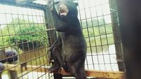 Pulaga si Beruang Jantan. (Liputan6.com/M Syukur)