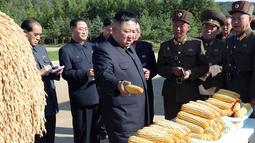 Gambar yang dirilis 9 Oktober 2019, pemimpin Korea Utara, Kim Jong-un melihat hasil panen jagung saat mengunjungi Pertanian No. 1116 dari KPA Unit 810 di lokasi yang dirahasiakan. Ini merupakan penampilan perdana Kim sejak perundingan nuklir dengan AS tidak mencapai titik temu. (KCNA VIA KNS/AFP)