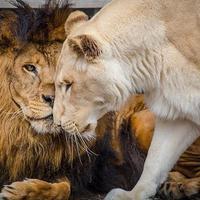 Singa menemukan cinta   foto : Boredpanda.com
