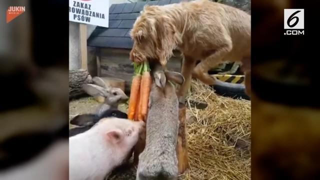 Seekor anjing memiliki kemampuan yang unik. Ia mampu memberi makan kelinci dan babi.