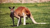 Spesies kanguru merah (Wikipedia)