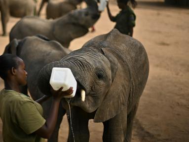 Penjaga memberi formula khusus kepada anak gajah di Reteti Elephant Sanctuary, Namunyak Wildlife Conservancy, Kenya, Rabu (26/2/2020). Reteti Elephant Sanctuary merupakan tempat konservasi gajah yang dimiliki dan dikelola oleh masyarakat. (TONY KARUMBA/AFP)
