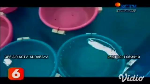 Praktik jual beli benih lobster atau benur ilegal yang ada di kawasan Pantai Tulungagung dan Blitar Jawa Timur, dibongkar aparat Ditpolairud Polda Jatim. Dari hasil pengungkapan tersebut, polisi menangkap dua pelaku, serta menyita barang bukti 3.149 ...