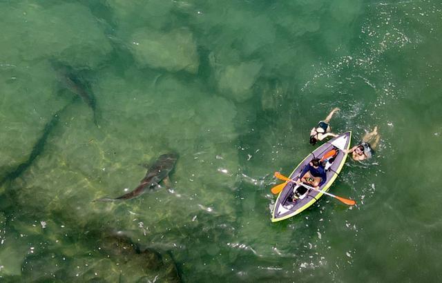 Pemandangan udara hiu yang berenang di dekat kayak tiup di perairan Laut Mediterania dangkal di lepas pantai kota Hadera di utara Tel Aviv, Israel, Selasa (20/4/2021). Lusinan hiu pasir yang dapat tumbuh hingga mencapai tiga meter itu mendadak berkumpul di lepas pantai Israel utara. (JACK GUEZ/AFP)