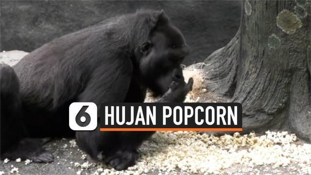 Kebun Binatang Brookfield di pinggiran kota Chicago, Amerika Serikat, menghujani kandang gorila peliharaannya dengan berondong jagung dalam perayaan Hari Popcorn Nasional tanggal 20 Januari.