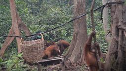 Aktivitas orangutan di pusat rehabilitasi Nyaru Menteng, Kalimantan Tengah, Selasa (17/9/2019). Belasan orangutan yang terserang infeksi saluran pernapasan akut (ISPA) mulai dari dewasa hingga balita. (Handout/Borneo Orangutan Survival Foundation/AFP)