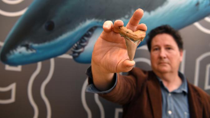 Seorang penggemar amatir fosil, Philip Mullaly memegang gigi langka dari hiu raksasa prasejarah di Museum Melbourne, Kamis (9/8). Fosil gigi hiu raksasa sepanjang 7 centimeter ini berukuran dua kali lipat dari gigi hiu putih. (AFP Photo/William WEST)