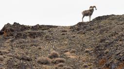 Seekor domba argali terlihat di Cagar Alam Kalamayli, Daerah Otonom Uighur Xinjiang, China barat laut, pada 5 Juni 2020. (Xinhua/Ding Lei)