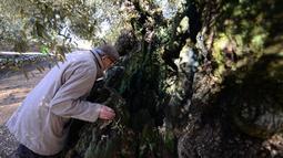 Pemilik kebun Joan Prota saat melihat pohon zaitun tertuanya di Uldecona, Spanyol (6/12). Di perkebunan ini terdapat ribuan pohon zaitun yang berusia 1.000-2.000 tahun. (AFP Photo/Jose Jordan)
