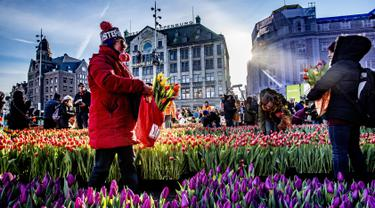 Orang-orang memetik tulip pada Hari Bunga Tulip Nasional di Dam Square, Amsterdam pada 19 Januari 2019. Acara ini merupakan awal musim bunga tulip internasional yang secara resmi dimulai hingga akhir April mendatang. (Robin Utrecht / ANP / AFP)