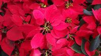 Ini dia Kastuba yang juga akrab disebut Tanaman Natal, (Foto: Benedikta Desideria)