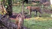 Harimau Sumatera tampak berkeliaran di pemukiman warga di Kanal 25 Simpang Kanan Desa Tanjung Simpang Kecamatan Pelangiran Kabupaten Indragiri Hilir, Selasa, 23 Mei 2017. (Riauonline.co.id)
