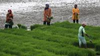 El Nino berdampak pada penurunan produksi padi (Reuters)