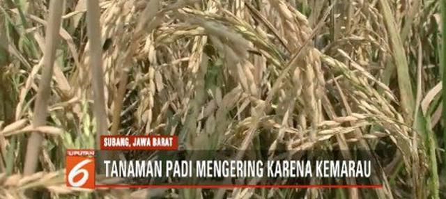 Kemarau tiba, ratusan hektare tanaman padi di Subang, Jawa Barat terancam gagal panen. Beberapa petani terpaksa melakukan panen dini.