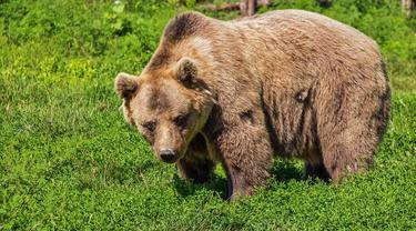 Ilustrasi mimpi, beruang