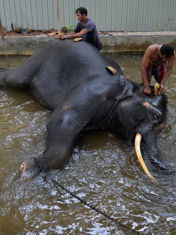 Pawang mencuci seekor gajah di Kolombo (9/8). Pemerintah Sri Lanka mengatakan akan mulai membangun 2.651 kilometer pagar listrik baru untuk menjauhkan gajah dari desa-desa yang berbatasan dengan suaka margasatwa. (AFP Photo/Lakruwan Wanniarachchi)#source%3Dgooglier%2Ecom#https%3A%2F%2Fgooglier%2Ecom%2Fpage%2F%2F10000