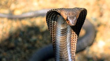 Dijuluki Raja Kobra, Pria Ini Meninggal Karena Ular King Cobra