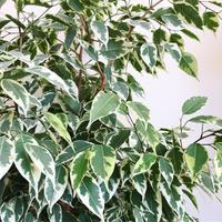 Ficus Benjamina, image: Instagram, Plant_Den