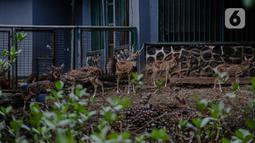 Kawanan rusa beraktivitas dalam kandangnya di Taman Margasatwa Ragunan, Jakarta Selatan, Senin (20/4/2020). Satwa-satwa di Taman Margasatwa Ragunan terlihat lebih tenang karena lingkungan menjadi lebih sepi sesuai habitat aslinya. (Liputan6.com/Faizal Fanani)