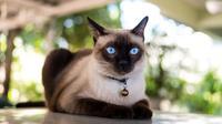 Kucing Siam (Shutterstock)