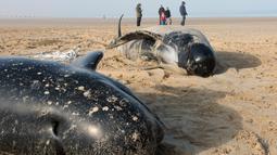 Sejumlah paus pilot ditemukan terdampar di Pantai Calais, Prancis, Senin (2/11). Enam dari sepuluh paus ditemukan sudah mati terdampar di pantai, sedangkan empat ekor paus berhasil diselamatkan petugas dan dikembalikan ke laut. (AFP/ Denis Charlet)